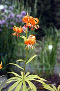 Lilium medeoloides 220708.JPG