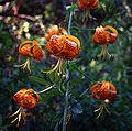 Lilium pardalinum.jpg
