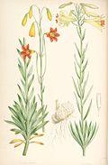Lilium parryi.jpg