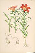 Lilium pensylvanicum.jpg
