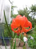 Lilium pumilum (Flower) 1.JPG