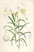 Lilium wallichianum.jpg