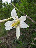 Lilium washingtonianum 3.jpg