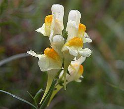 Linaire commune (Linaria vulgaris)