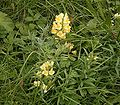 Linaria vulgaris 04 ies.jpg