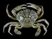 Liocarcinus vernalis.jpg