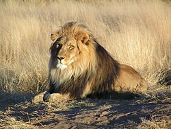 Lion: Panthera leo mâle