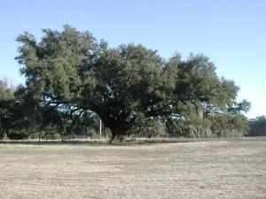 Live oak Georgetown.jpg