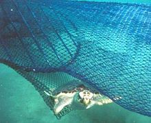 A loggerhead sea turtle escapes a circular fisherman's net via a TED.