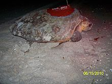 A loggerhead sea turtle resting on the beach, an antenna is attached to its back.