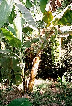 Luxor, Banana Island, Banana Tree, Egypt, Oct 2004.jpg
