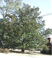 Magnolia grandiflora 2004.jpg