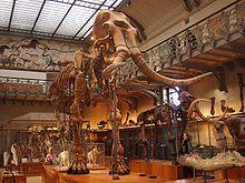 Squelette de Mammuthus meridionalis au Muséum national d'histoire naturelle