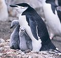Manchot à jugulaire(Pygoscelis antarctica)