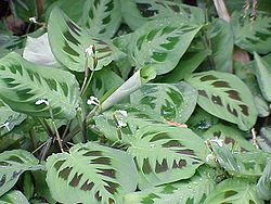  Maranta leuconeura