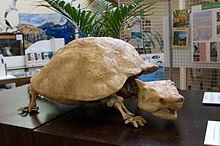 View of a replica of the extinct Horned Turtle in the centre of the museum