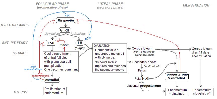 Hormonal regulation of menstrual cycle.