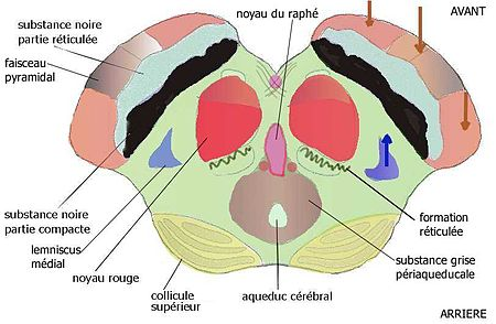 Mesencephalus colliculus sup.jpg