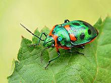 The shield bug, Scutiphora pedicellata, on a leaf.