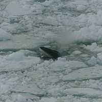 Photo of whale poking its nose through hole in icepack
