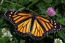 Monarch In May.jpg