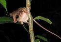 Mouse Possum -Tambopata Reserve -Peru-8.jpg