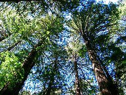 En Californie, forêt de séquoias du Muir Woods National Monument