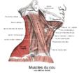 Muscle trapèze1.png