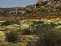 Namaqualand, Goegap 1003.jpg