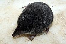 Musaraigne noire à ventre blanc