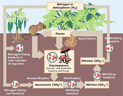 Diagram of the nitrogen cycle