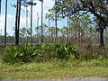 Ochlockonee River SP01.jpg