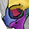 The seven orbital bones of the skull