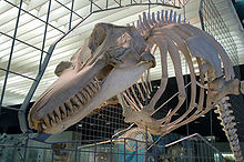 Skeleton suspended on metal framework, which incorporates an outline of the soft tissue along a median cross-section of the animal. The jaws host many sharp teeth, and pectoral fin bones are attached to the lower ribs. The backbone stretches away out of frame; no hind limb bones can be seen. The outline includes an upright dorsal fin and rounded forehead.