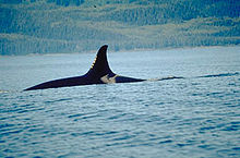 Killer whale with only top of back and dorsal fin visible above water surface. The dorsal fin curves backward at the tip.