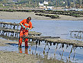 Oysterman standing in shallow water examining row of oyster cages that stand two feet above the water.