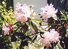 Palepinkrhododendron.jpg