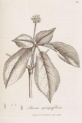 Panax quinquefolium L.jpg