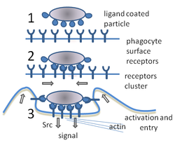 A cartoon: 1. The particle is depicted by an oval and the surface of the phagocyte by a straight line. Different smaller shapes are on the line and the oval. 2. The smaller particles on each surface join. 3. The line is now concave and partially wraps around the oval.
