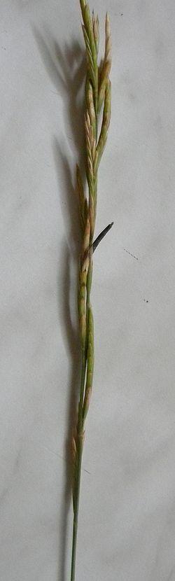 Brachypodium pinnatum avec Claviceps purpurea