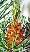 Pine cones, immature male.jpg