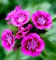 Pink Sweet William flowers.jpg