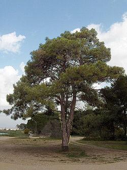 Pinus brutia(02).jpg