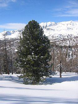 Pinus cembra01.jpg