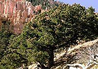 Pinus edulis.jpg