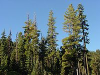 Pinus monticola1.jpg