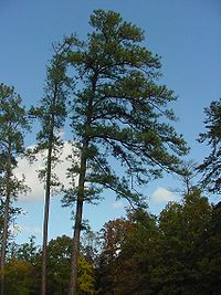 Pinus taeda.jpg