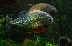 un piranha