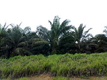 Picture depicting a few palm oil trees in a plantation.
