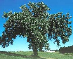 Populus deltoides.jpg